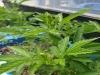 한약재 짚신나물(용아초), 위염 개선 및 예방 효과 뛰어나